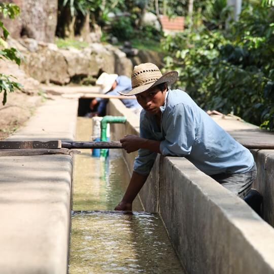 cafe en grain guatemala finca las terrazas jacquelines 89 microlot  1