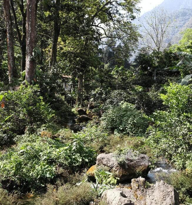 cafe en grain guatemala finca las terrazas jacquelines 89 microlot  2