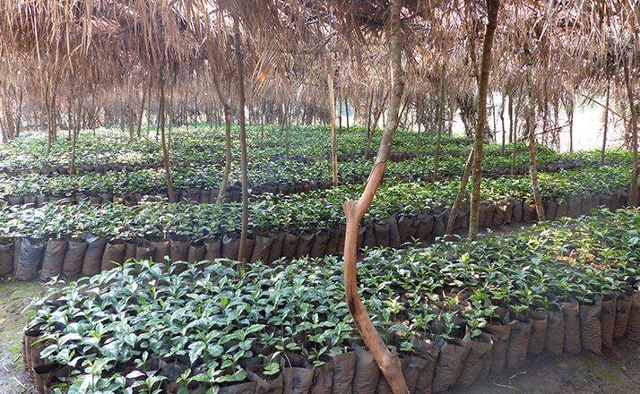 cafe ethiopie jimma woreda seka plantation olma  4