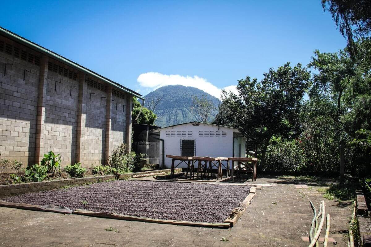cafe grain salvador ilamatepec ayutepeque pacamara  10
