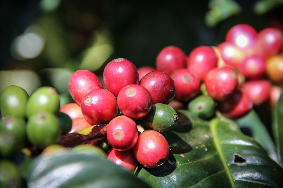 cafe grain salvador ilamatepec ayutepeque pacamara  7