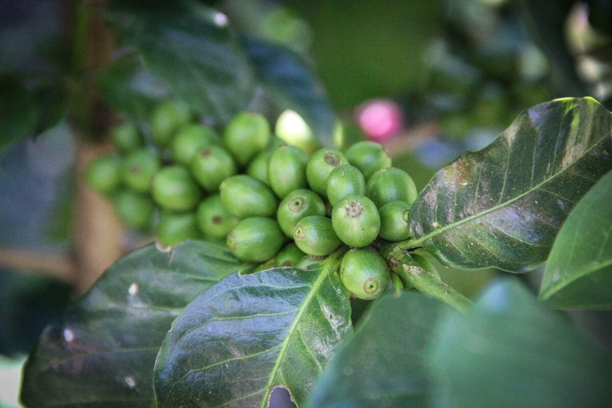 cafe grain salvador ilamatepec ayutepeque pacamara  8