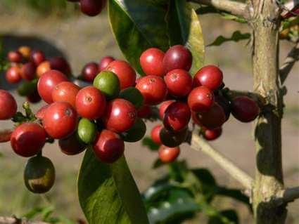 cerise cafe de papouasie