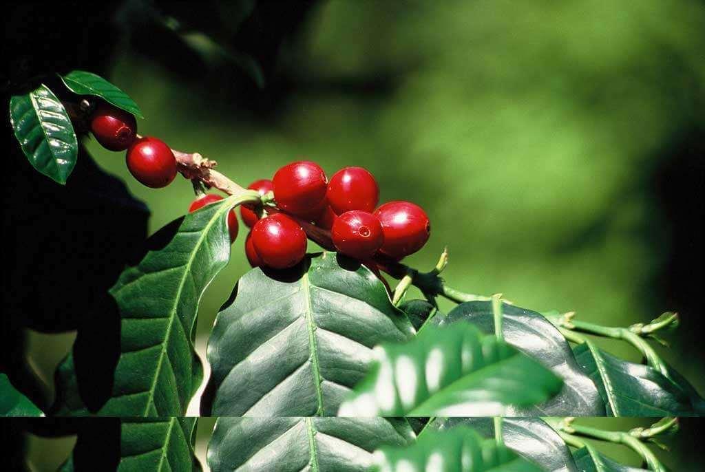 cerise de cafeier guatemala