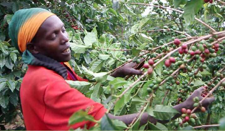 cueillette cafe en grain burundi