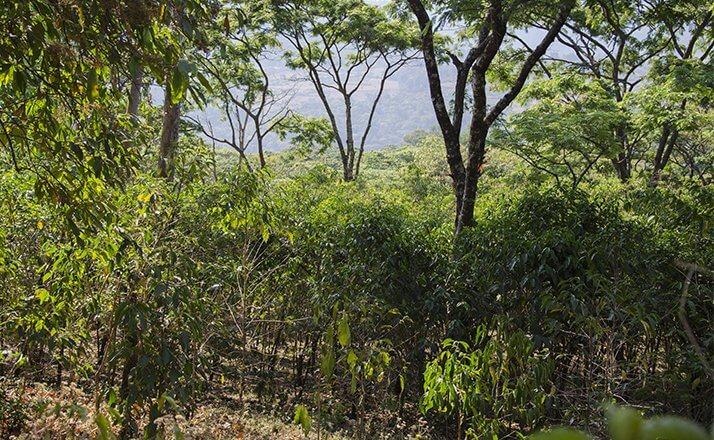 ethiopie terroir fendacha moka sauvage  4