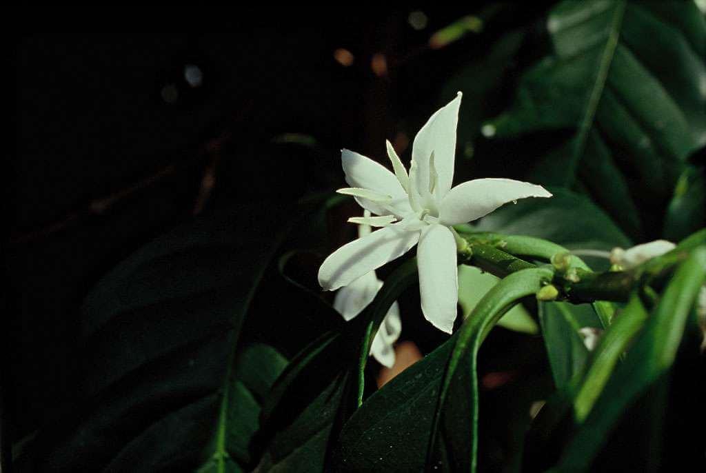 fleur de cafeier du guatemala