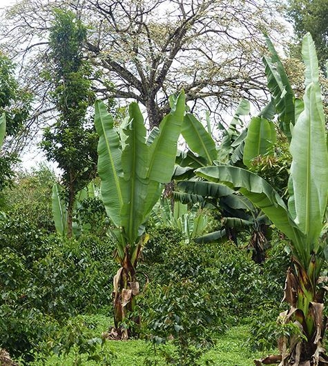 fugu plantation