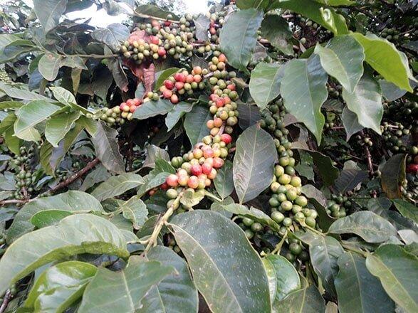kenya plantation 2