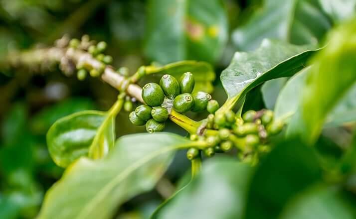 maracaturra dipilto nicaragua cafe terroir  1
