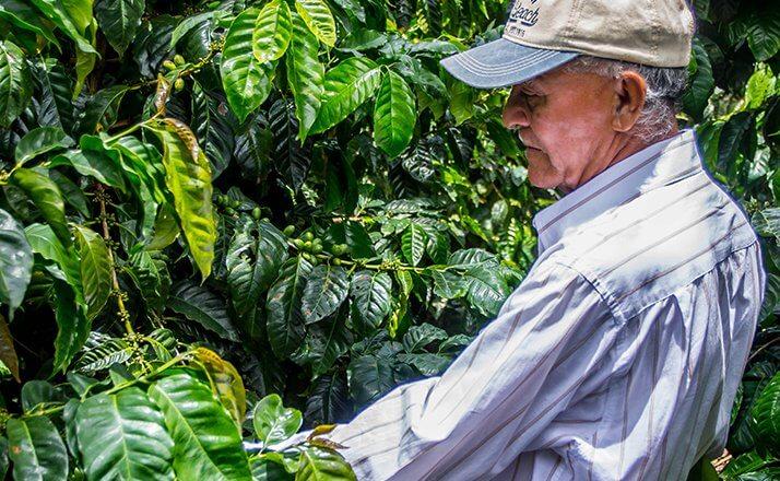 maracaturra dipilto nicaragua cafe terroir  5