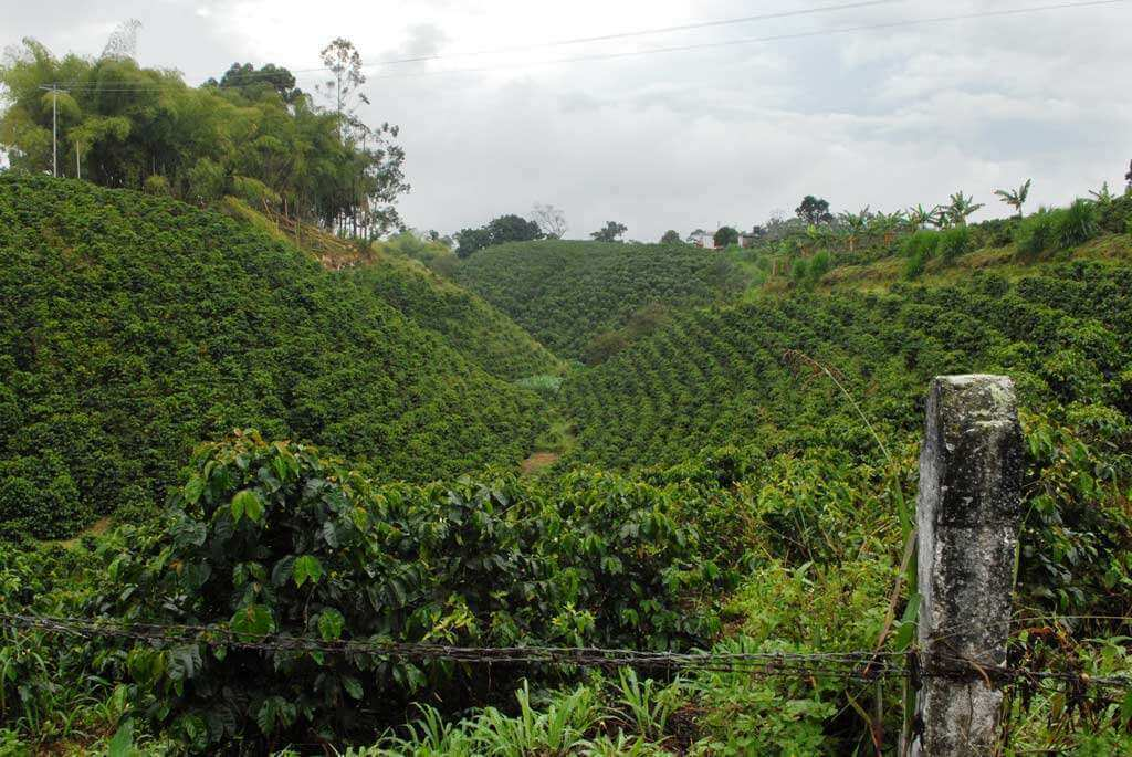 plantation de cafe en colombie