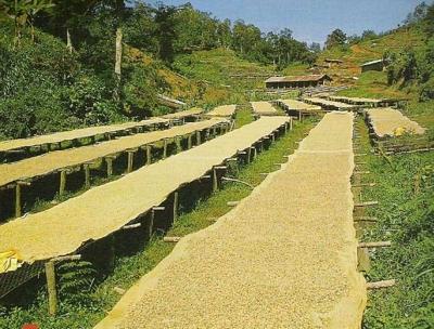 Café vert du KENYA - Ngala Victoria - AB - 1KG
